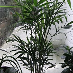 ARECA-PALM-STUNNING-MUST-HAVE-FOLIAGE-HOUSEPLANT-IN-7CM-POT-0