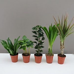 Foliage-Plug-Plants-Ideal-for-miniature-gardens-windowsills-desks-Easy-care-Houseplants-Evergreen-indoor-mini-plants-Modern-decoration-for-homes-and-offices-Beautiful-Gift-for-Birthdays-Get-well-soon--0