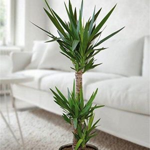 Indoor-Yucca-Tree-Perfect-to-Brighten-up-the-Home-0