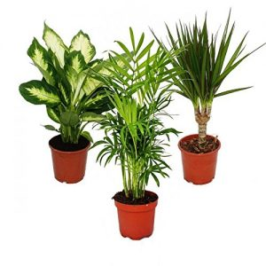Indoor-plant-mix-II-3rd-sets-1x-Dieffenbachia-1x-Chamaedorea-mountain-palm-1x-Dracena-marginata-dragons-tree-10-12cm-pots-green-plants-set-0