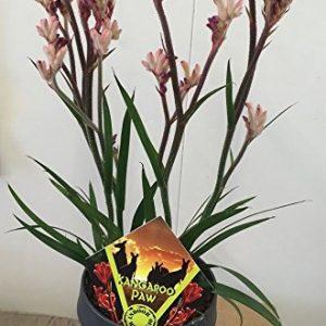 Kangaroo-Paw-Anigozanthos-Houseplant-in-14-cm-Pot-0