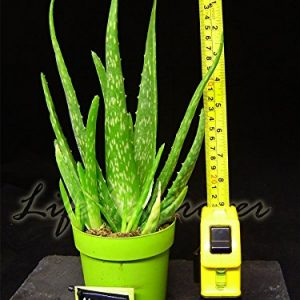 1-ALOE-VERA-IN-POT-MEDICINAL-HOUSE-PLANT-0