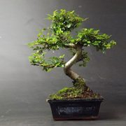 Bonsai-Elm-parvifolia-S-Style-7-yr-1-tree-0-0