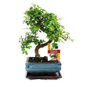 Bonsai-Elm-parvifolia-S-Style-7-yr-1-tree-0