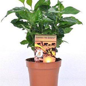 Coffee-Arabica-Grow-Your-Own-Coffee-Plant-in-12-cm-Pot-0