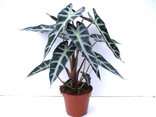 Elephant-Ears-Alocasia-Cucul-Bambino-Plant-0