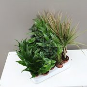 Foliage-Plug-Plants-Ideal-for-miniature-gardens-windowsills-desks-Easy-care-Houseplants-Evergreen-indoor-mini-plants-Modern-decoration-for-homes-and-offices-Beautiful-Gift-for-Birthdays-Get-well-soon--0-1