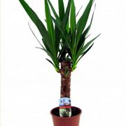 Indoor-Yucca-Tree-Perfect-to-Brighten-up-the-Home-0-0
