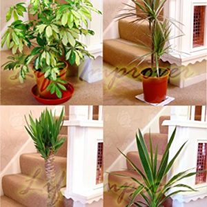 Large-Traditional-Evergreen-House-Plants-0