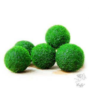 Marimo-Moss-Ball-x5-1-FREE-RARE-live-plants-Just-place-them-into-any-bottle-and-add-water-Water-change-every-2-weeks-Beautiful-HousePlant-0