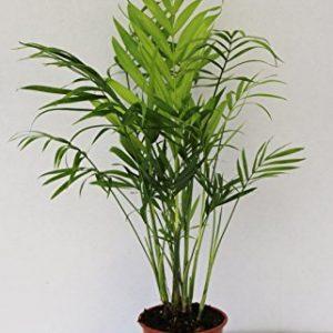Parlour-Palm-Chamaedorea-Elegans-Indoor-House-Plant-9cm-Pot-20-40cm-0