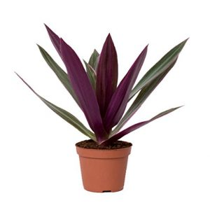 Striking-Variegated-Houseplant-Mini-Indoor-Purple-Inch-plant-Colourful-Conservatory-Gift-plant-Wandering-Jew-Plant-Tradescantia-zebrina-Ideal-gift-for-all-occasions-with-gift-pack-options-Available-as-0